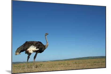 Ostrich in a Pasture-Paul Souders-Mounted Photographic Print