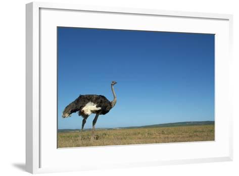 Ostrich in a Pasture-Paul Souders-Framed Art Print