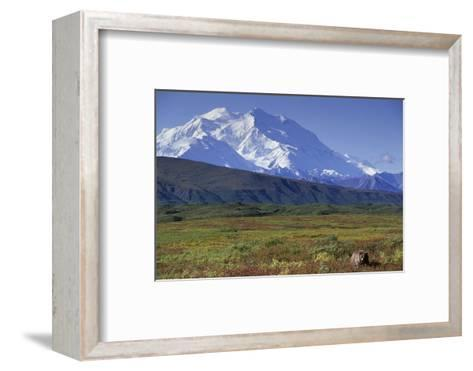 Grizzly Bear Feeding on Tundra Below Mt. Mckinley-Paul Souders-Framed Art Print