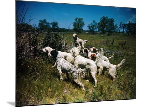 Hunting Dogs on Point--Mounted Photographic Print