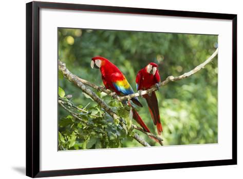 Scarlet Macaws, Costa Rica-Paul Souders-Framed Art Print