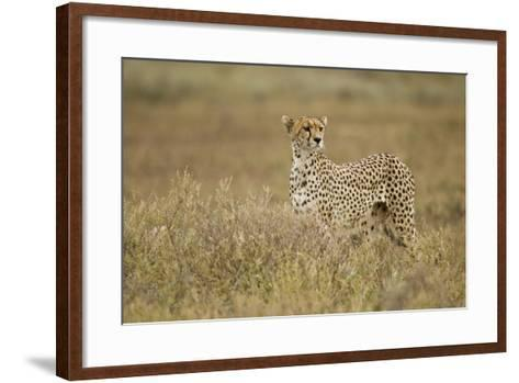 Cheetah, Ngorongoro Conservation Area, Tanzania-Paul Souders-Framed Art Print