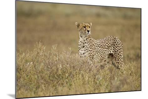 Cheetah, Ngorongoro Conservation Area, Tanzania-Paul Souders-Mounted Photographic Print