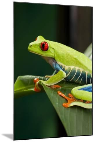 Red Eyed Tree Frog, Costa Rica-Paul Souders-Mounted Photographic Print