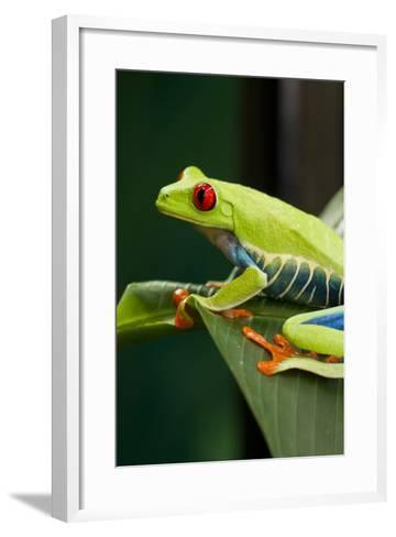 Red Eyed Tree Frog, Costa Rica-Paul Souders-Framed Art Print