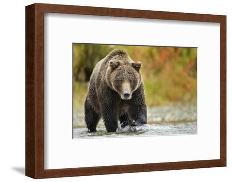 Brown Bear, Katmai National Park, Alaska--Framed Art Print
