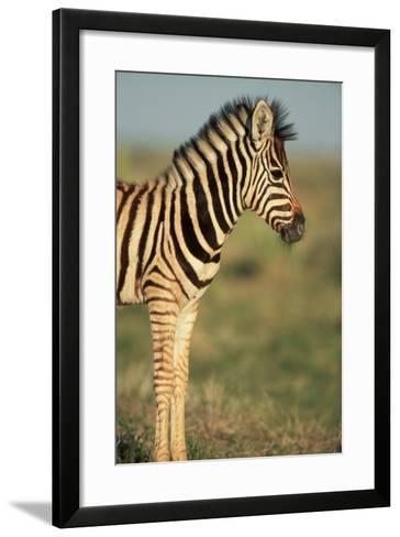 Plains Zebra at Sunset-Paul Souders-Framed Art Print