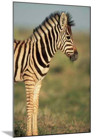 Plains Zebra at Sunset-Paul Souders-Mounted Photographic Print