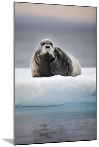 Bearded Seal, on Iceberg, Svalbard, Norway--Mounted Photographic Print