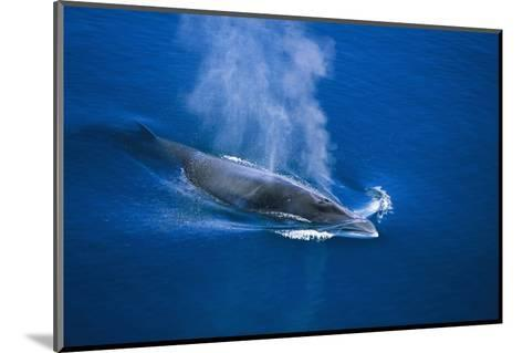 Antarctic Minke Whale Surfacing--Mounted Photographic Print
