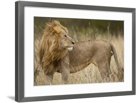 Adult Male Lion in Tall Grass in Masai Mara National Reserve--Framed Art Print