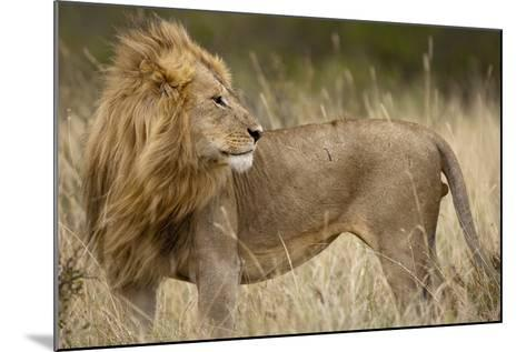 Adult Male Lion in Tall Grass in Masai Mara National Reserve--Mounted Photographic Print