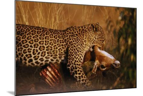 Leopard with Impala Kill--Mounted Photographic Print