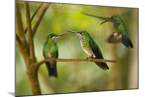 Hummingbirds, Costa Rica--Mounted Photographic Print