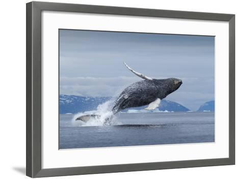 Humpback Whale Calf Breaching in Disko Bay in Greenland--Framed Art Print