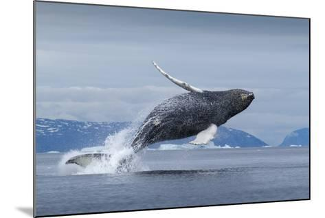 Humpback Whale Calf Breaching in Disko Bay in Greenland--Mounted Photographic Print