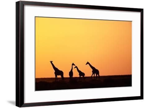 Giraffe Herd at Sunset--Framed Art Print