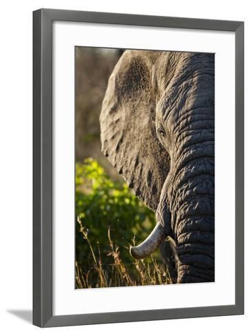 Elephant, Sabi Sabi Reserve, South Africa--Framed Art Print