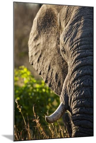 Elephant, Sabi Sabi Reserve, South Africa--Mounted Photographic Print