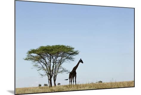Giraffe Herd--Mounted Photographic Print