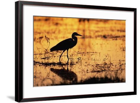Egret Wading Through the Khwai River--Framed Art Print