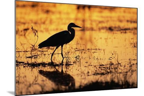 Egret Wading Through the Khwai River--Mounted Photographic Print