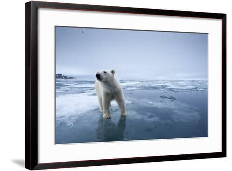 Polar Bear on Melting Ice--Framed Art Print