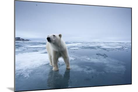 Polar Bear on Melting Ice--Mounted Photographic Print