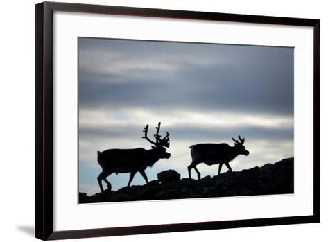 Reindeer, Svalbard, Norway-Paul Souders-Framed Art Print