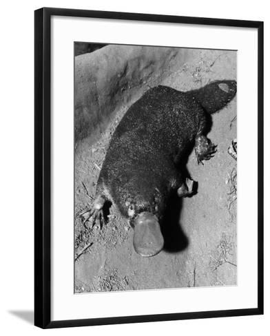 Platypus--Framed Art Print