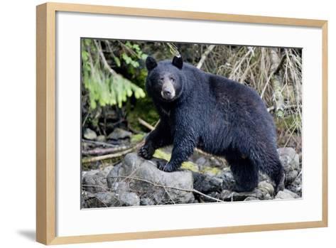 Black Bear in Rainforest in Alaska--Framed Art Print