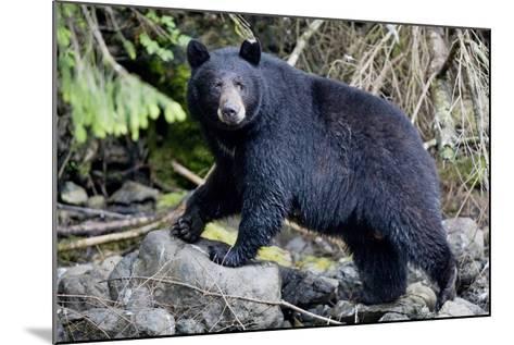 Black Bear in Rainforest in Alaska--Mounted Photographic Print
