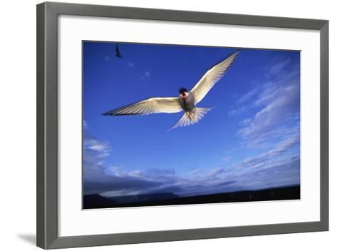 Arctic Tern in Iceland--Framed Art Print