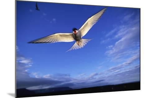 Arctic Tern in Iceland--Mounted Photographic Print