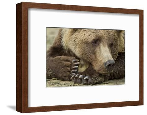 Resting Brown Bear, Katmai National Park, Alaska--Framed Art Print