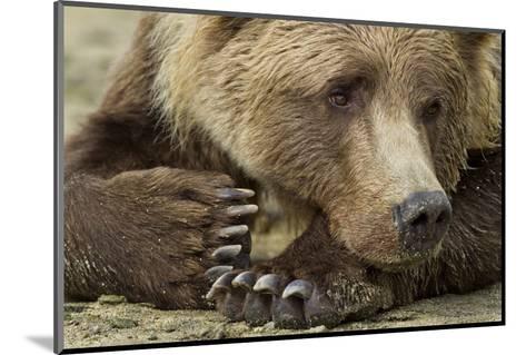 Resting Brown Bear, Katmai National Park, Alaska--Mounted Photographic Print