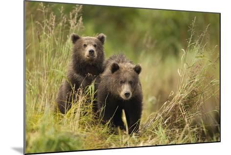 Brown Bear Cubs, Katmai National Park, Alaska--Mounted Photographic Print