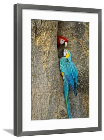 Blue and Gold Macaw with Scarlet Macaw, Costa Rica--Framed Art Print