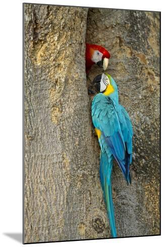 Blue and Gold Macaw with Scarlet Macaw, Costa Rica--Mounted Photographic Print