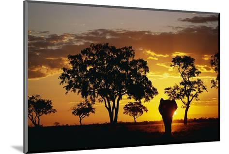 African Elephant Walking at Sunset--Mounted Photographic Print