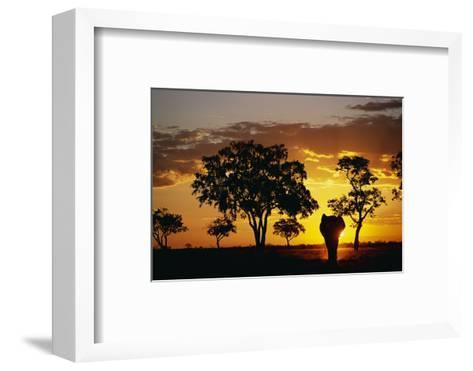 African Elephant Walking at Sunset--Framed Art Print