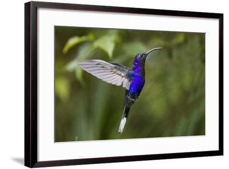 Hummingbird, Costa Rica--Framed Art Print