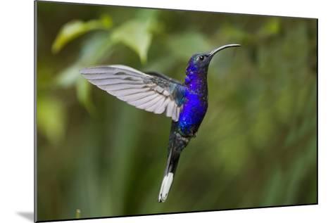 Hummingbird, Costa Rica--Mounted Photographic Print