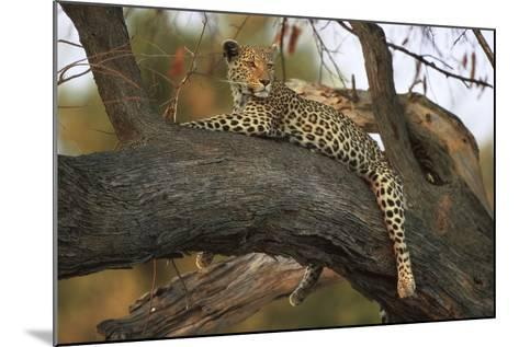 Leopard in Tree--Mounted Photographic Print