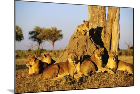 Lion Pride Resting at Acacia Tree--Mounted Photographic Print