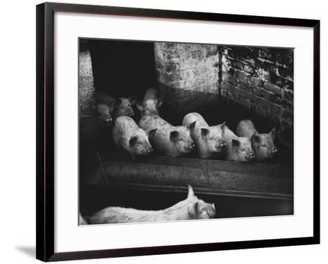 Pigs--Framed Art Print