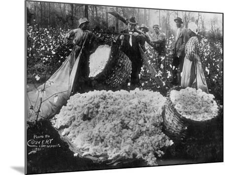 Manager Weighing Picked Cotton--Mounted Photographic Print
