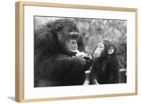 Chimpanzee with Her Young--Framed Art Print