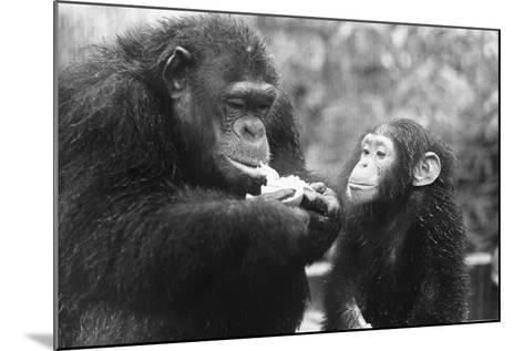 Chimpanzee with Her Young--Mounted Photographic Print