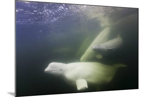Beluga Whale, Hudson Bay, Canada--Mounted Photographic Print